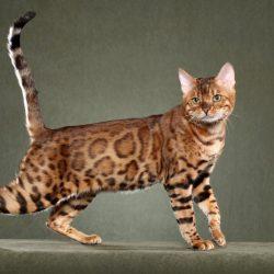 Породы кошек, запрещённые в Сингапуре - Бенгальская кошка (Bengal cat)