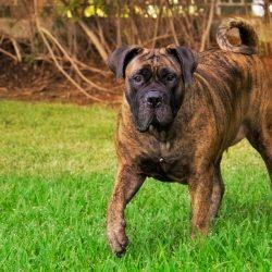 Породы собак, запрещённые в Сингапуре - Бурбуль (Boerboe)