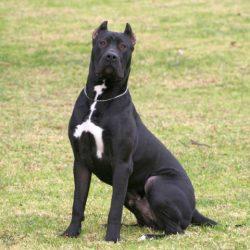 Породы собак, запрещённые в Сингапуре - Перро Де Преса Канарио (Perro De Presa Canario)