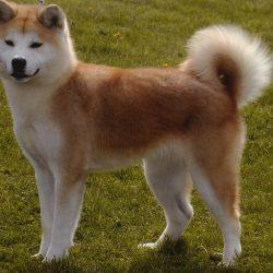 Породы собак, запрещённые в Сингапуре - Акита (Akita)