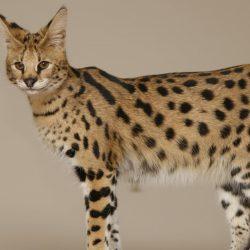 Породы кошек, запрещённые в Сингапуре - Саванна (Savannah cat)