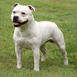 Породы собак, запрещённые в Сингапуре - Стаффордширский Бультерьер (Staffordshire Bull Terrier)